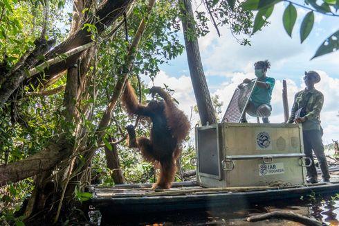 BKSDA Kalbar dan IARI Translokasi Orangutan ke Hutan Rawa Gambut Ketapang