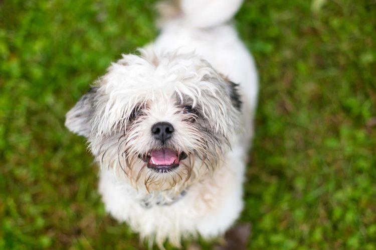 llustrasi anjing campuran Shih Tzu. (Shutterstock)