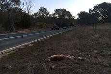 Warga Australia Diserang Kanguru yang Dikira Sudah Mati