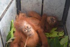 Induk Dua Bayi Orangutan Diduga Dibunuh Sebelum Anaknya Diambil