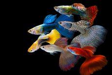 Selain Cupang, Berikut Jenis Ikan Hias yang Sedang Naik Daun