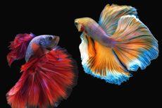 Ikan Cupang Hamil? Begini Cara Mengetahuinya