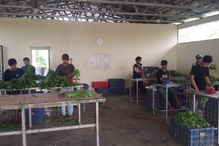 Pekerja sedang memilah dan membersihkan sayuran di kompleks kebun sayur Bagas Suratman di Tangerang, Selasa (19/2/2019).