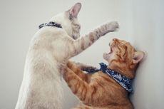 Cara Menghentikan Kucing Peliharaan yang Suka Menindas Kucing Lain