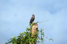 Wilmar Group Lakukan Konservasi Burung Pemangsa di Kalteng