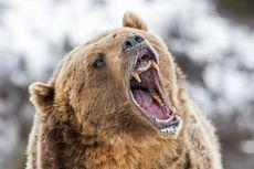 Dikurung di Kandang Kecil Hampir Seumur Hidupnya, Beruang Jambolina Diselamatkan