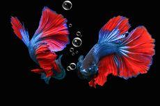 Air Ikan Cupang Berbusa, Pertanda Apa?