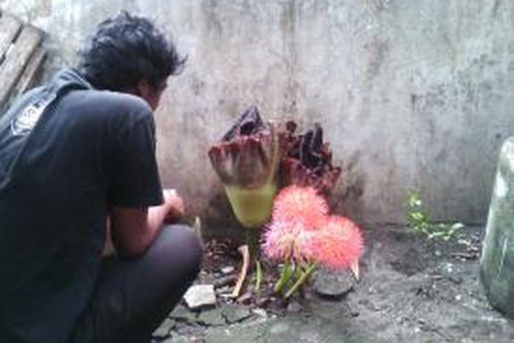 Dua bunga bangkai yang tumbuh di depan rumah ngadiono