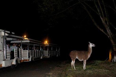 Besok, Safari Malam Tutup Sementara Waktu di Taman Safari Bogor