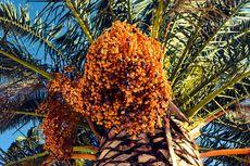 Asal-usul Kurma Tropika di Indonesia dan Lokasi Budidayanya
