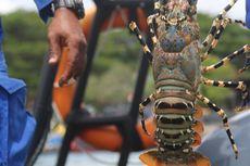Bareskrim Polri Tangkap Penyeleweng Ekspor Lobster, 73.200 Ekor Benih Disita