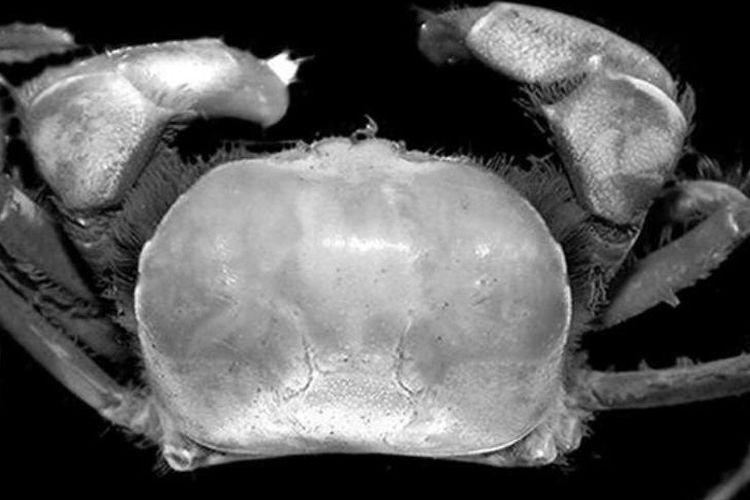 Salah satu spesies kepiting yang ditemukan di area operasi PT Freeport Indonesia