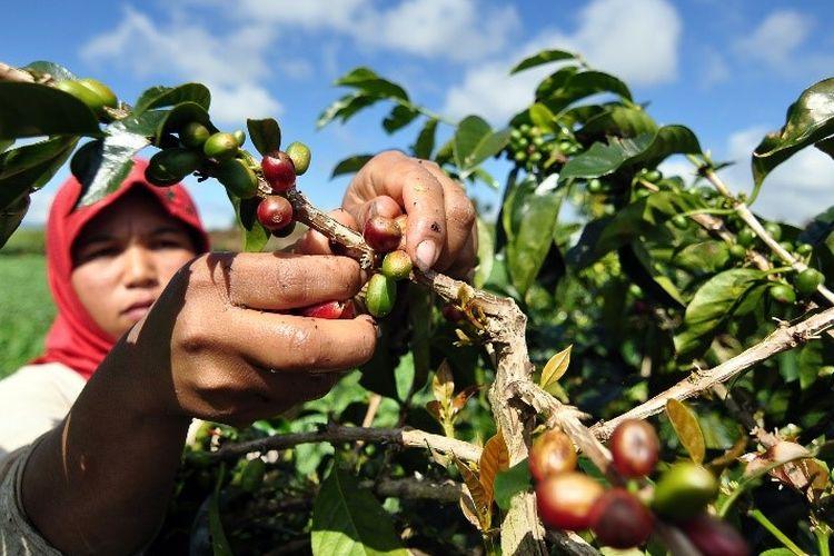 Petani sedang memanin kopi