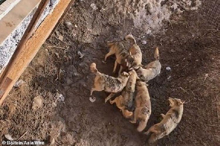 Tangkapan layar video yang beredar di China memperlihatkan seekor anjing menjadi santapan kawanan serigala setelah pemiliknya tak sengaja menjatuhkannya.