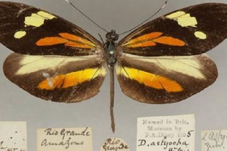 22++ Kupu kupu hewan metamorfosis tidak sempurna terupdate