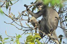 Baru Ditemukan, Spesies Monyet Asal Myanmar Hadapi Kepunahan