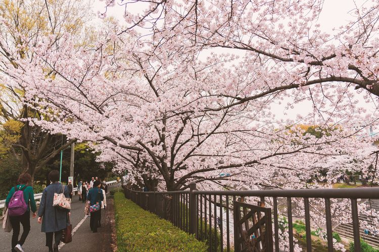 Ilustrasi bunga sakura di sekitar Sungai Yamazaki, Nagoya, Jepang.