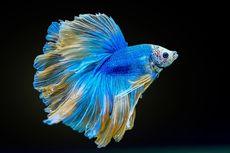 Ragam Manfaat Daun Ketapang untuk Ikan Cupang, Sudah Tahu?