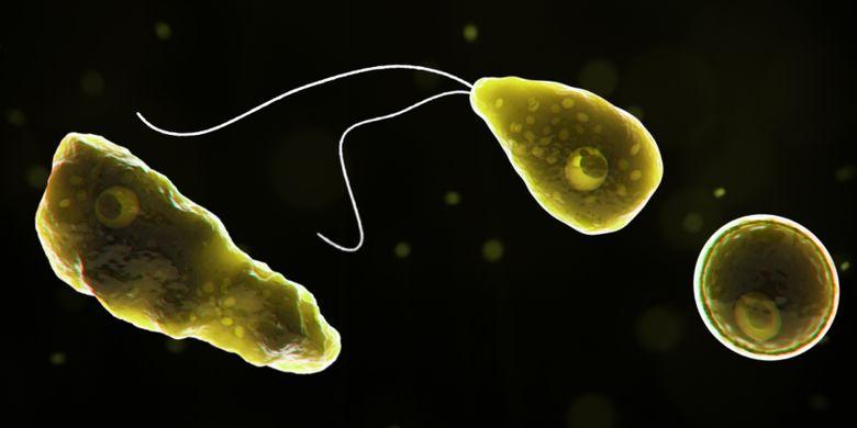 Naegleria fowleri, penyebab penyakit meningitis parasit.