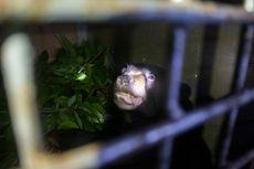 Terkena Jerat, Lengan Beruang Madu Ini Terpaksa Diamputasi
