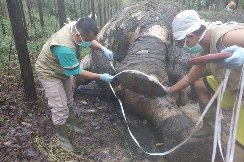 Gajah Membusuk Tanpa Kepala dan Gading, Diduga Dibantai Pemburu Liar hingga Ditemukan di Areal Perusahaan