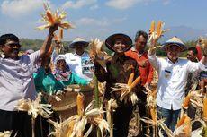 Meskipun Kemarau, Produksi Jagung di Nganjuk Raup Rp 1 Triliun
