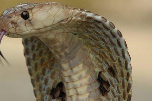 Seekor Ular Kobra