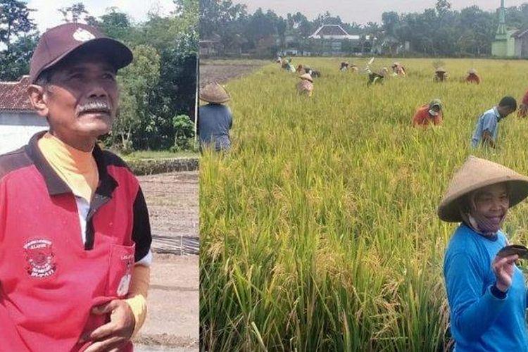 Kolose sosok Kades Suyamto dan warga tengah asyik memanen untuk dirinya sendiri di Desa Tumpukan, Kecamatan Karangdowo, Kabupaten Klaten, Jumat (16/4/2021). (Tribun Solo/Mardon Widiyanto)