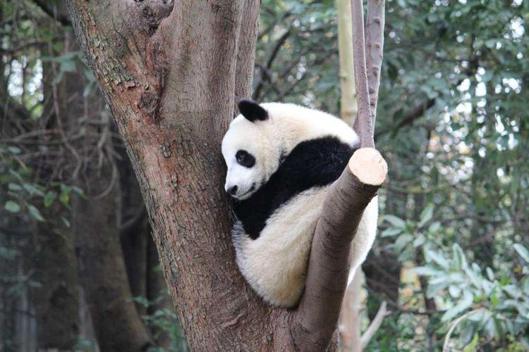 Panda duduk di dahan pohon.