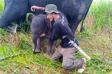 Anak Gajah Lahir di PLG Banyuasin, Jadi Kelahiran Ke-9 dalam 10 Tahun Terakhir