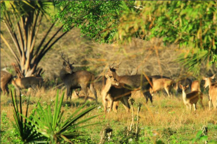 Padang Rumput Sadengan Alas Purwo DOK. Majestic Banyuwangi