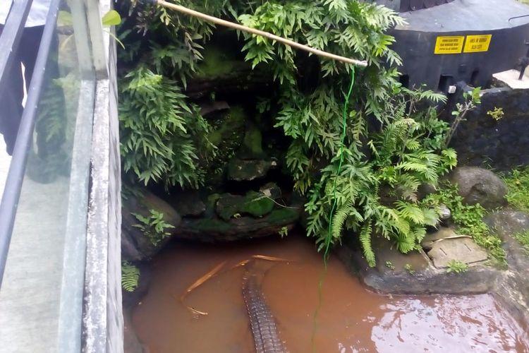 Memancing buaya menggunakan bambu panjang di Taman Reptilia