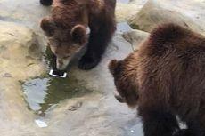 Turis Tak Sengaja Lempar iPhone ke Kandang Beruang, Begini Akhirnya...