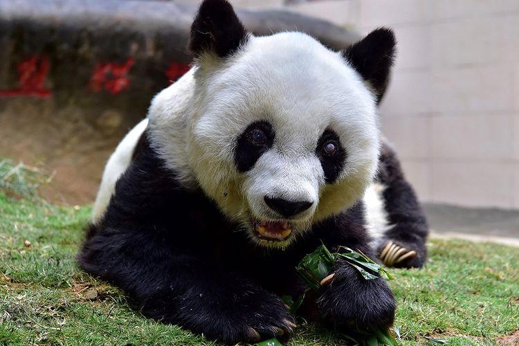 Panda Basi dipotret pada Januari 2017