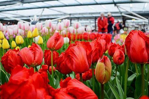 Pencinta Bunga Kini Bisa Nikmati Tulip Mekar di Keukenhof Belanda Secara Virtual