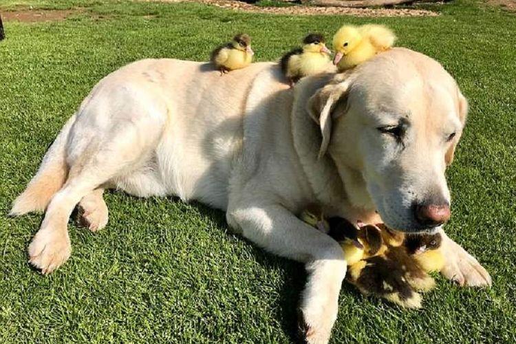 Fred duduk santai sementara beberapa anak bebek duduk di punggung dan kepalanya.