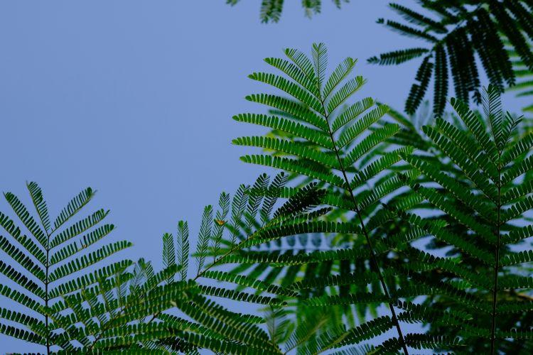 Ilustrasi pohon sengon