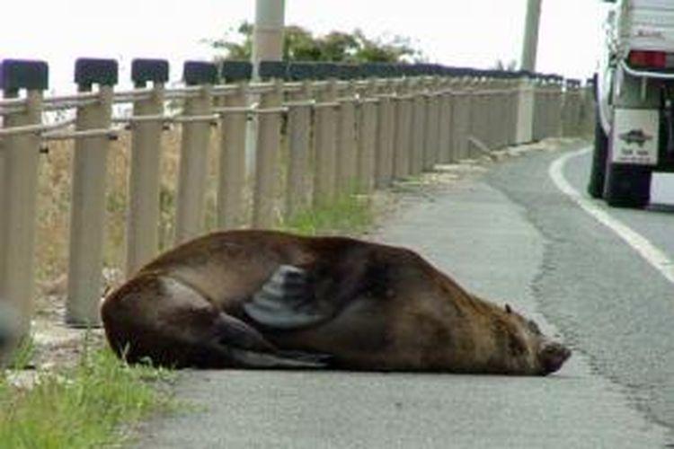 Seekor anjing laut berjemur di tepian jalan membuat arus lalu lintas di salah satu ruas jalan kota Launceston, Tasmania terpaksa dialihkan.