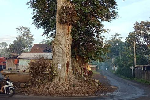 Pohon Randu Alas Ambruk, di Bawahnya Ditemukan Struktur Batuan Candi
