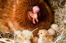 Peneliti Ungkap Domestikasi Ayam Pertama Terjadi di Asia