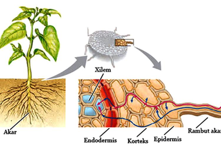 Ilustrasi air masuk ke tumbuhan