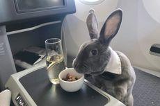 Unik, Kelinci Ini Naik Kelas Bisnis Penerbangan San Fransisco-Jepang