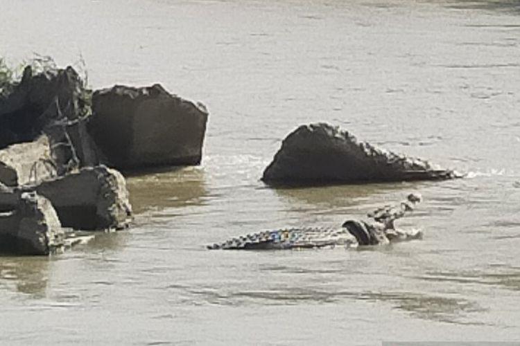 Terlihat seekor buaya besar berkalung ban bekas sepada motor sedang berjemur dengan mulut yang terbuka, di sungai Palu, tepatnya di jembatan dua, Kota Palu, Sulawesi Tengah. Buaya ini jadi tontonan warga dan pengendara kenderaan bermotor, Rabu (15/1/2020).