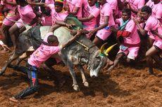 Tonton Festival Jallikattu di India, Dua Orang Tewas Diseruduk Sapi