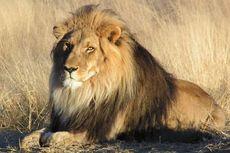 Setelah Jerapah, Kebun Binatang Denmark Bunuh Sekeluarga Singa