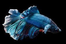4 Cara Menyembuhkan Ekor Ikan Cupang yang Rusak