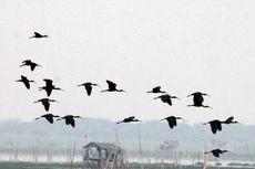Musim Dingin di Australia, Ibis Rokoroko Migrasi di Danau Limboto