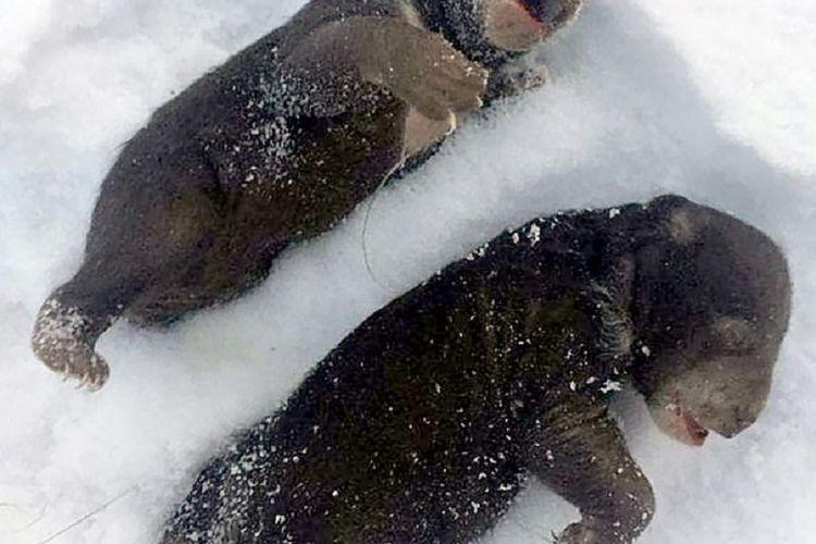 Anak beruang mati beku setelah ditinggal sang ibu yang ketakutan karena diganggung para penebang kayu yang mabuk dengan gergaji.