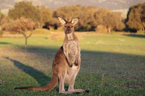 Serba-serbi Hewan: Kenapa dan Bagaimana Kanguru Melompat?