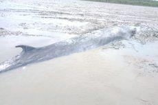 Viral Foto Ikan Paus Ukuran 7 Meter Terdampar di Perairan Ogan Komering Ilir